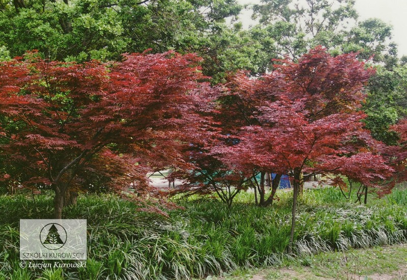 Acer Palmatum Atropurpureum Maple Atropurpureum Japanese Maple
