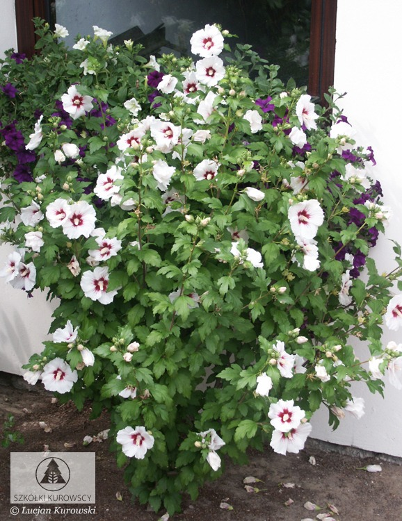 Hibiscus Syriacus Red Heart Rose Of Sharon Red Heart Rose Of