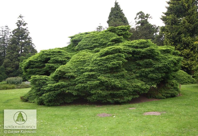 Picea Abies Nidiformis Spruce Nidiformis Norway Spruce