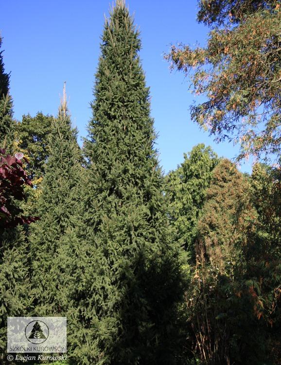 Picea Abies Cupressina Spruce Cupressina Norway Spruce