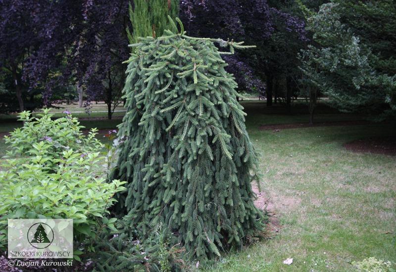 Picea Abies Inversa Spruce Inversa Norway Spruce