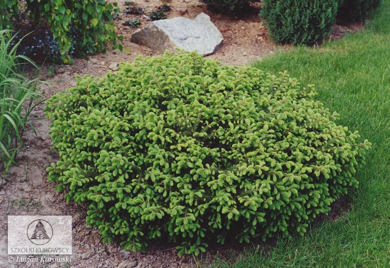 Picea Abies Procumbens Spruce Procumbens Norway Spruce