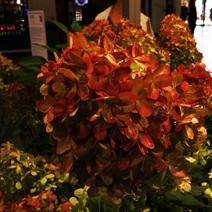 Hydrangea paniculata GRAFFITI 'Rou201406'