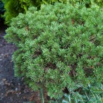 Pinus mugo 'Suzy Hexe'