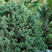Picea abies 'Emsland'
