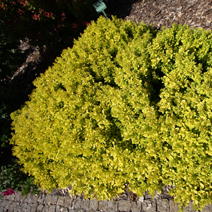 Berberis thunbergii 'Golden Nugget' ('Moniers')