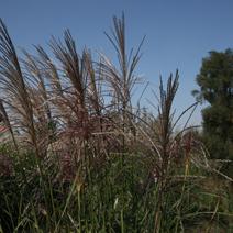 Zdj. nr 3;Miscanthus sinensis 'Vanilla Sky'