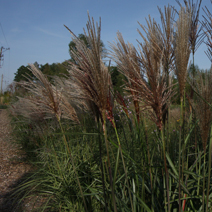 Miscanthus sinensis 'Pagels Pride'