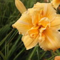 Zdj. nr 12;Hemerocallis 'Savannah Debutante'