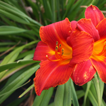 Hemerocallis 'Toreador's Cape'