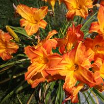 Zdj. nr 25;Hemerocallis x hybrida 'Mauna Loa'
