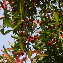 Euonymus europaeus 'Red Cascade'