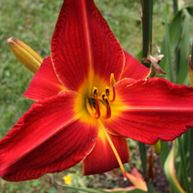 Hemerocallis x hybrida 'Major Hubal'
