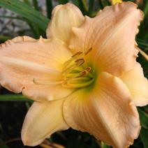 Zdj. nr 7;Hemerocallis x hybrida 'Albina'