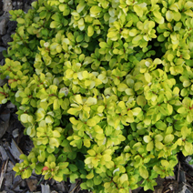 Berberis thunbergii 'Lime Star' PBR