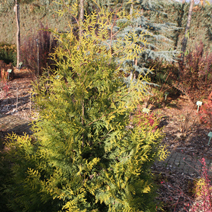 Thuja occidentalis 'Salland'