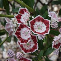 Kalmia latifolia 'Minuet'