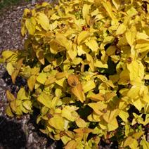 Hypericum frondosum Golden'