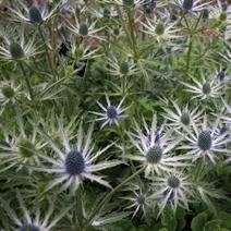 Eryngium 'Sapphire Blue' (syn. 'Jos Eijking')