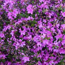 Rhododendron   obtusum 'Orlice'