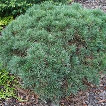 Pinus sylvestris 'Fjell Teppich'