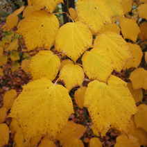 Jesienne przebarwienie liści.
