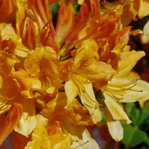 Rhododendron  (Knaphill-Exbury) 'Golden Flare'