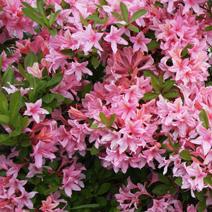 Rhododendron  viscosa 'Soir de Paris'