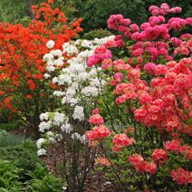 Zdj. nr 3;Azalie wielkokwiatowe w ogrodzie p. Majewskich.