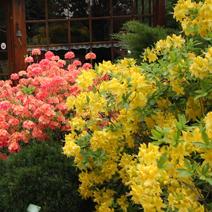 Zdj. nr 2;Azalie wielkokwiatowe w ogrodzie p. Majewskich.