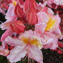 Rhododendron  - Azalie wielkokwiatowe