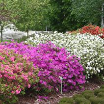 Rhododendron   - Azalie japońskie i inne