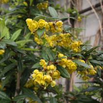 Berberis x hybrido-gagnepainii 'Chenault'