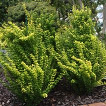 Berberis thunbergii Maria rosnąca w cieniu drzew w Nowej Zelandii.