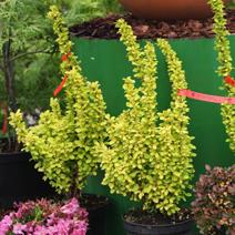 Berberis thunbergii Maria reklamowana w niemieckim centrum ogrodniczym jako roślina nie bojąca się słońca.