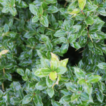 Berberis verruculosa 'Green Defender'
