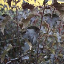 Betula pendula 'Royal Frost'