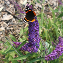 Buddleja davidii 'Empire Blue'