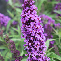 Buddleja davidii 'Purple Emperor' ®