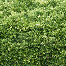 Buxus microphylla 'Korean Compact'