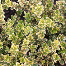 Buxus microphylla 'Golden Triumph'