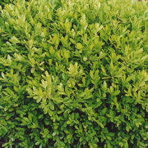 Buxus microphylla 'Rococo'