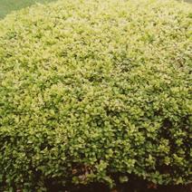 Buxus sempervirens 'Rotundifolia Aurea'
