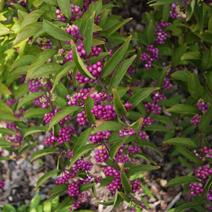 Callicarpa dichotoma 'Issai'