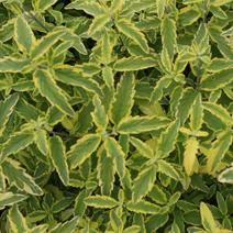 Caryopteris x clandonensis 'Summer Sorbet' PBR