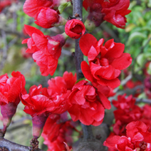 Chaenomeles japonica 'Red Joy'