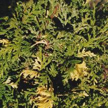 Chamaecyparis pisifera 'Aureovariegata'