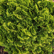 Chamaecyparis obtusa 'Bill'