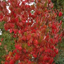 Zdj. nr 5;Jesienne przebarwienie liści.