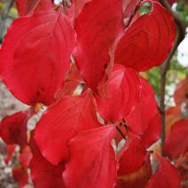 Zdj. nr 6;Jesienne przebarwienie liści.